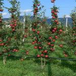 Manali Apple
