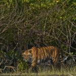 mangroves in India's Sundarbans.