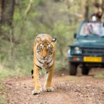 things-to-do-in-ranthambore-tiger
